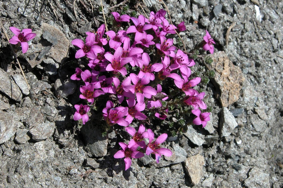 saxifrage-a-feuilles-opposees.JPG